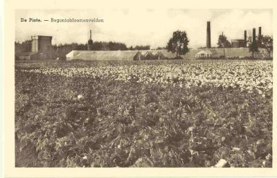 Begoniavelden in De Pinte