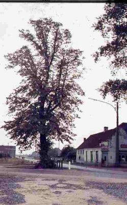 De lindebomen op het kruispunt 'de lindekes' in Nazareth