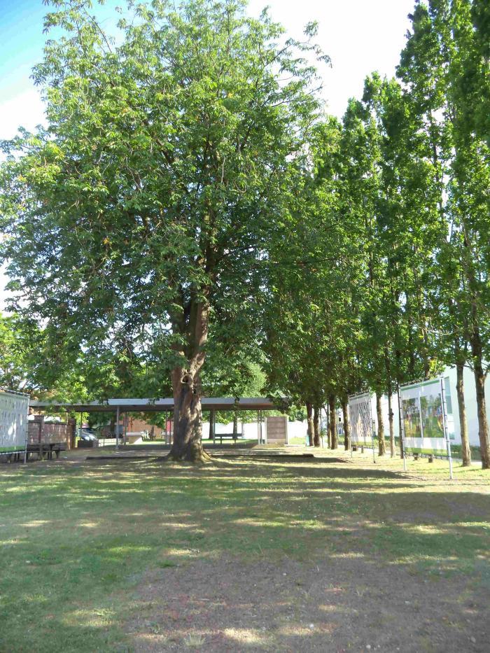 Monumentale wilde kastanje te Machelen-aan-de-Leie