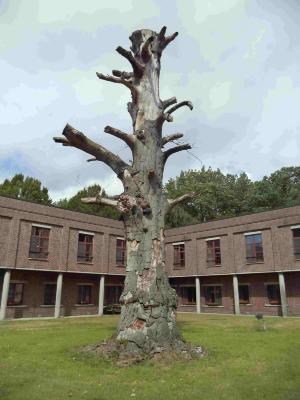 Dode rode beuk op het kasteeldomein Scheldevelde
