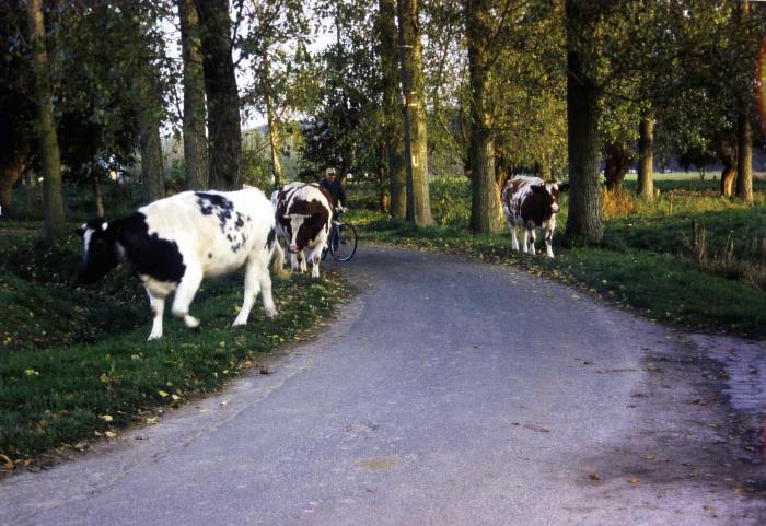 Koeien op stap