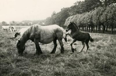 Zevergemse trekpaarden