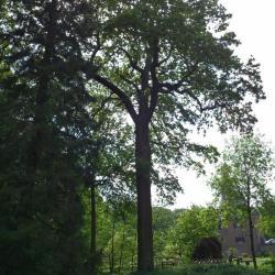 Monumentale zomereik in het kasteelpark van Ooidonk