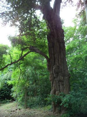 Prachtige cipres in het park Meheus
